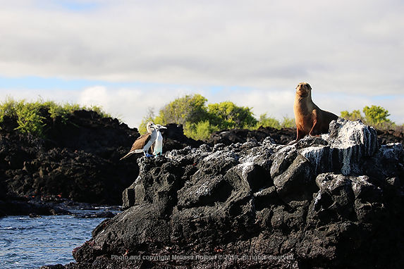 Galapagos-Blue-footed Boobies-Sea Lion-1