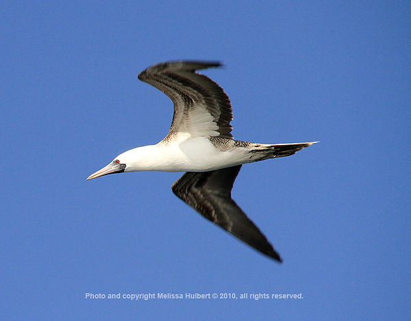 Peruvian Booby_Ballestas Islands_Peru-6-