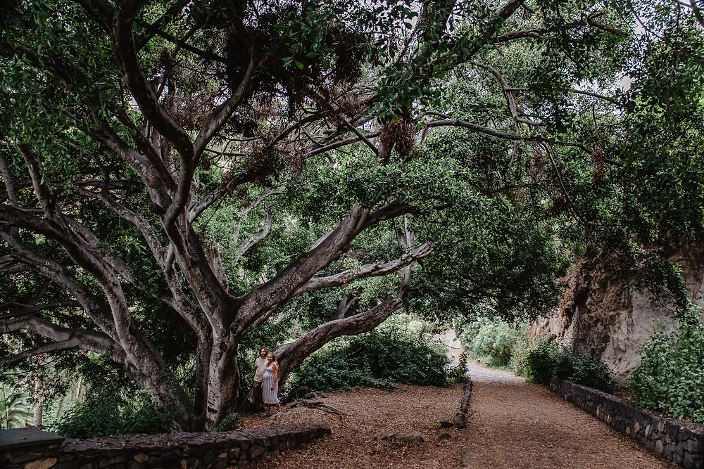 piekne drzewo na teneryfie polnoc kamila zienkiewicz