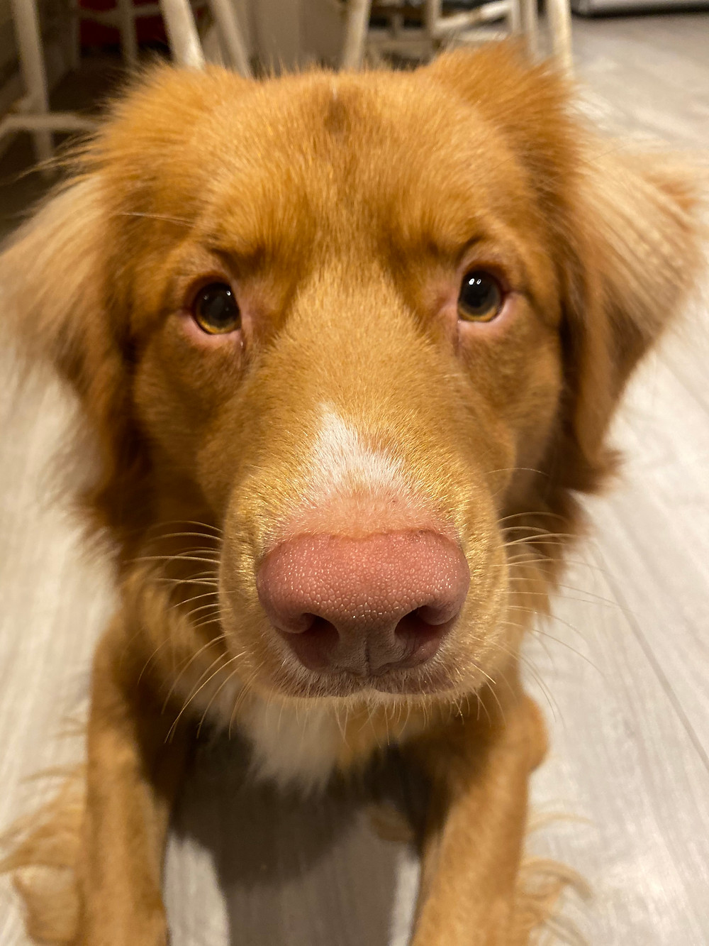 A close up of Taylor the Nova Scotia Duck Tolling Retriever, a medium-sized long-haired red and white dog breed