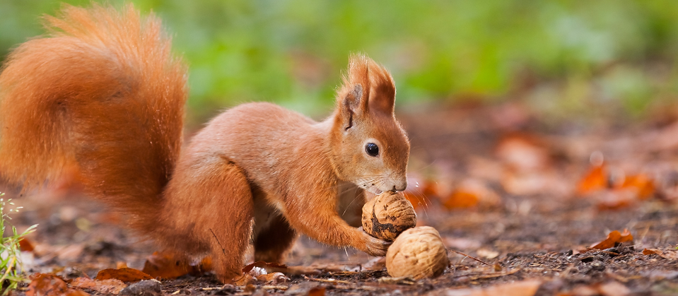 squirrel 980x428.png