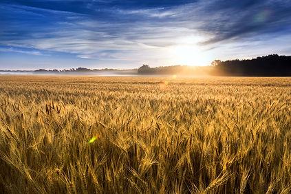 wheat.jpg.jpg