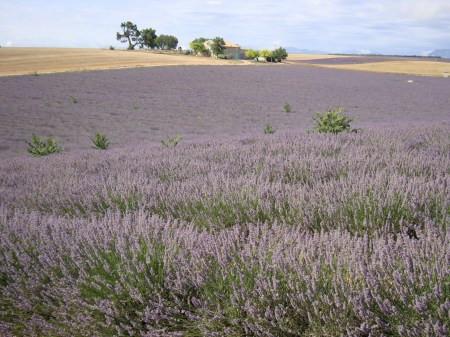 Lavendel-velden