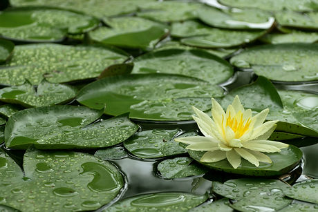 Yellow Water Lily After Rain.jpg