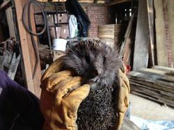 Hedgehog sleeping in our barn
