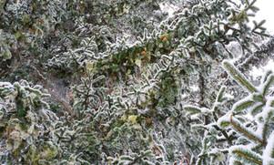 Tannenbaum Kosmos I