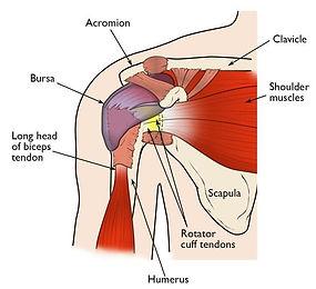 shoulder injury scapula rotator cuff ten