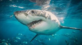 澳大利亚鲨鱼攻击:鲨鱼咬死人的真正原因和如何防范
