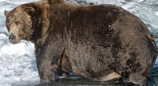 """""""今年最胖的熊""""找到了 棕熊越胖越好并非坏事"""