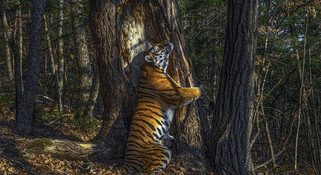 野生动物摄影师大奖: 俄国兽王《拥抱》夺冠 中国出品榜上有名