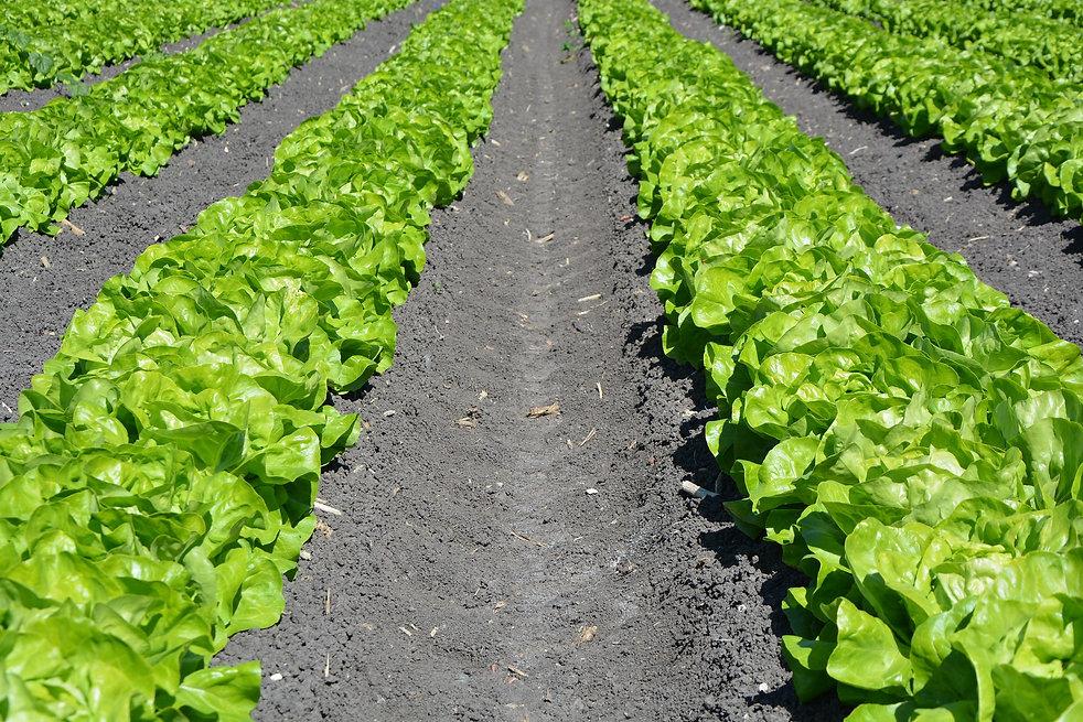 lettuce-1841273_1920.jpg