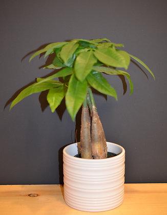 Money Tree - Pachira aquatica