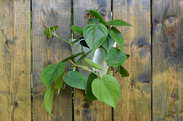 Philodendron Cordatum in Triangulum Wall Pot