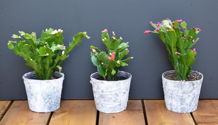 Christmas Cactus - Zygocactus in White Birch Pot
