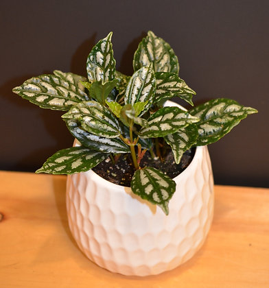 Aluminum Plant - Watermelon Pilea - Pilea Cadierei