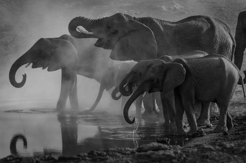 Elephants at Water