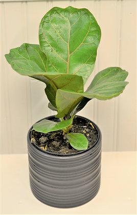 Dwarf Fiddle Leaf Fig - Ficus Lyrata Dwarf Bambino