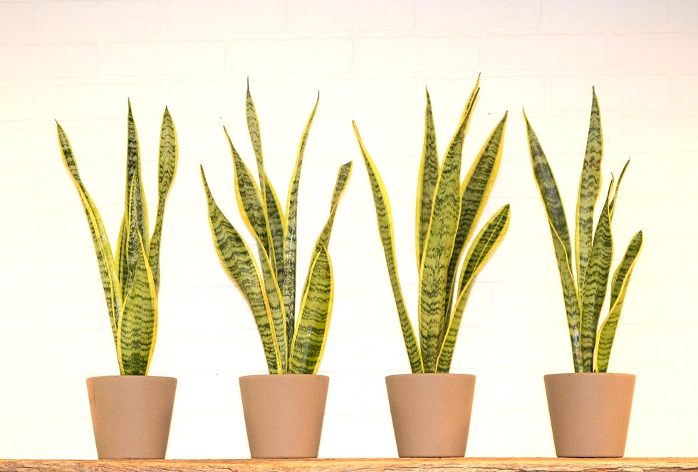 Snake Plants on Shelf.jpg