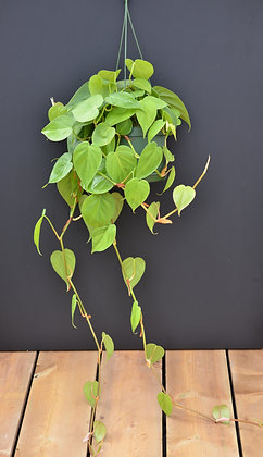 Heart Leaf Philodendron Hanging Basket - Philodendron cordatum