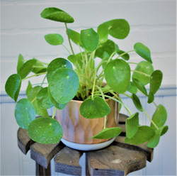 Pilea peperomide - UFO plant - Friendship plant