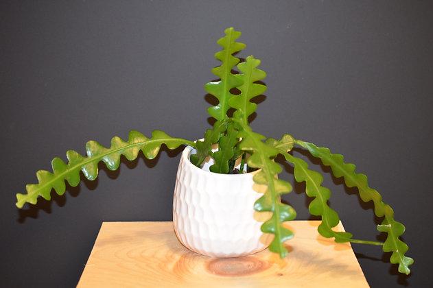 Fishbone - Ric-Rac Cactus - Epiphyllum anguliger