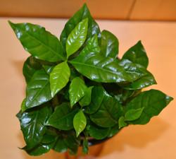 Coffee Plant - Coffea Arabica