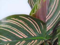 Calathea Pinstripe - Calathea Ornata