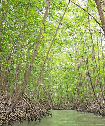 Mystical Mangroves