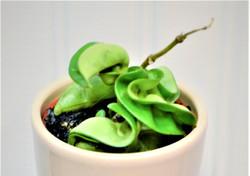 Hoya Carnosa 'Compacta' - Rope Hoya