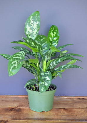 Chinese Evergreen - Aglaonema Maria