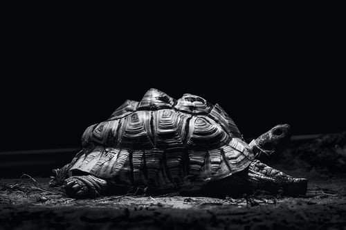 Turtle B&W