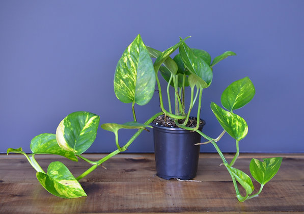 Devil's Ivy - Golden Pothos