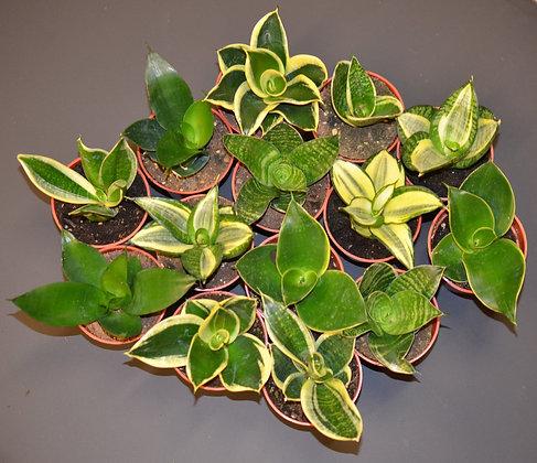 Bird's Nest Snake Plant - Sansevieria trifasciata Hahnii