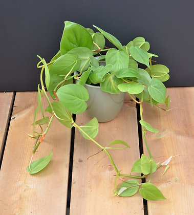 Heart Leaf Philodendron - Philodendron cordatum