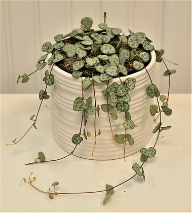 String of Hearts - Rosary Vine - Ceropegia Woodii