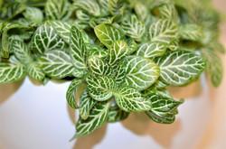 Fittonia Green & White