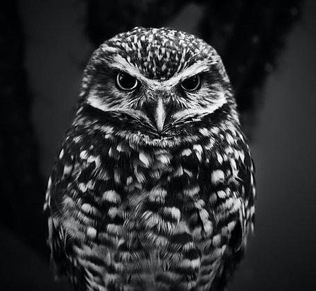 Owl B&W