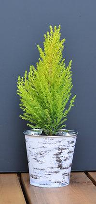 Goldcrest- Lemon Cypress in Birch Tin Pot or White Birch Pot