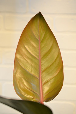 Philodendron Red Diamond