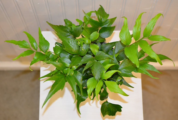 Japanese Holly Fern - Cyrtomium falcatum