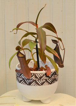 Pitcher Plant - Nepenthe