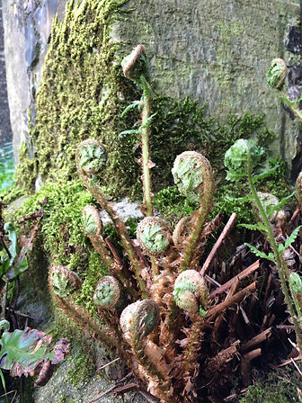 unfurling ferns in St Mary's churchyard