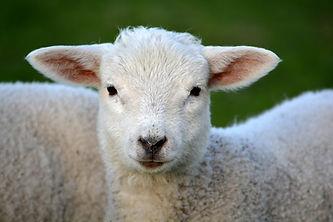 lamb-292512_1920.jpg