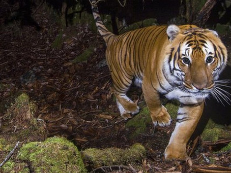 """INTERNATIONAL TIGER DAY- """"Their survival is in our hands"""""""
