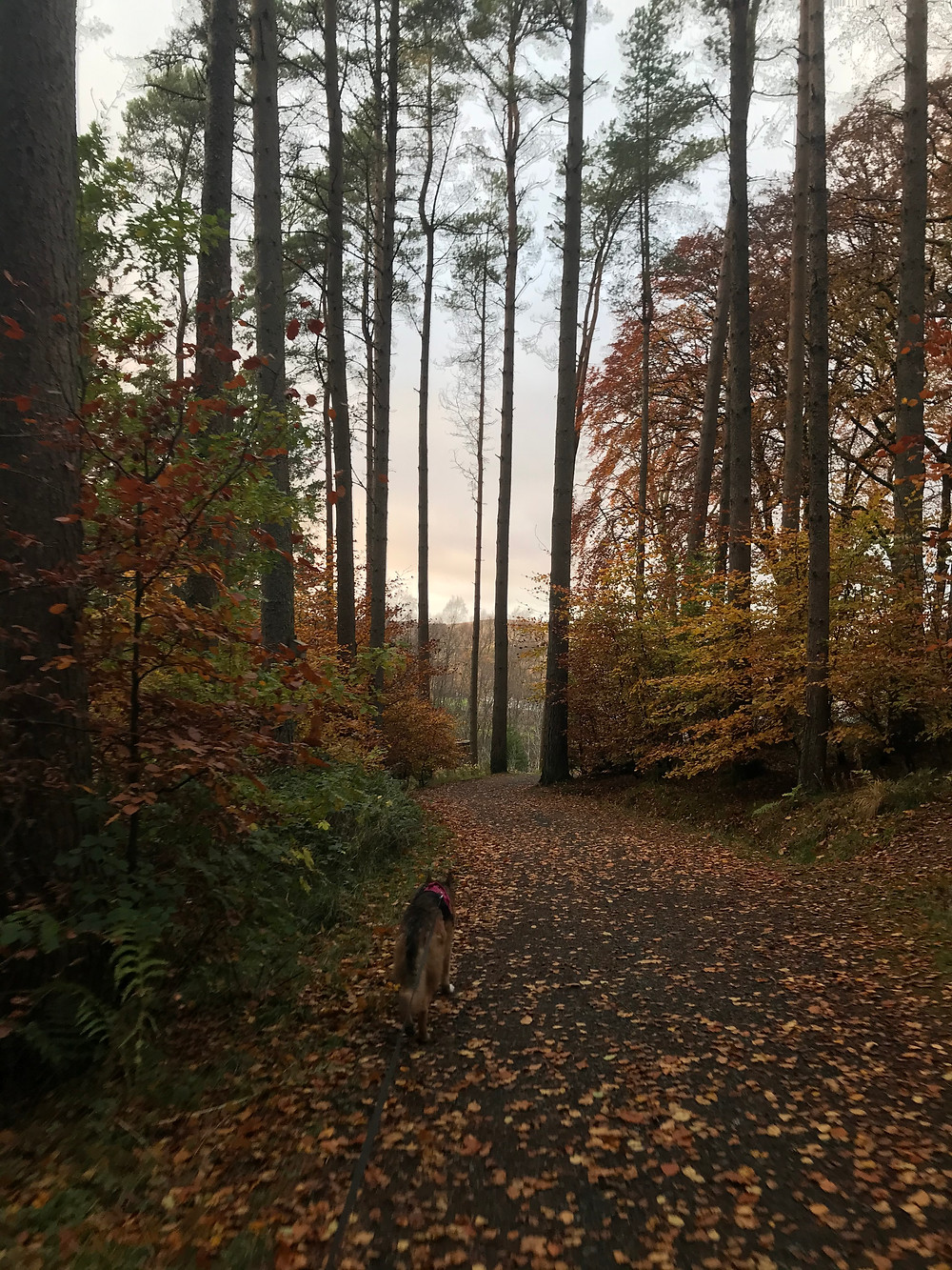 Photograph of a German Shepherd - Kali Rowntree - walking away from the camera in an Autumnal woodland setting; Kielder Forest Northumberland. Photograph property of Ceryn Rowntree.