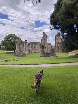 A photograph of Kali Rowntree, a black and tan German Shepherd walking on a lead across a patch of grass towards the ruins of Glastonbury Abbey, UK.