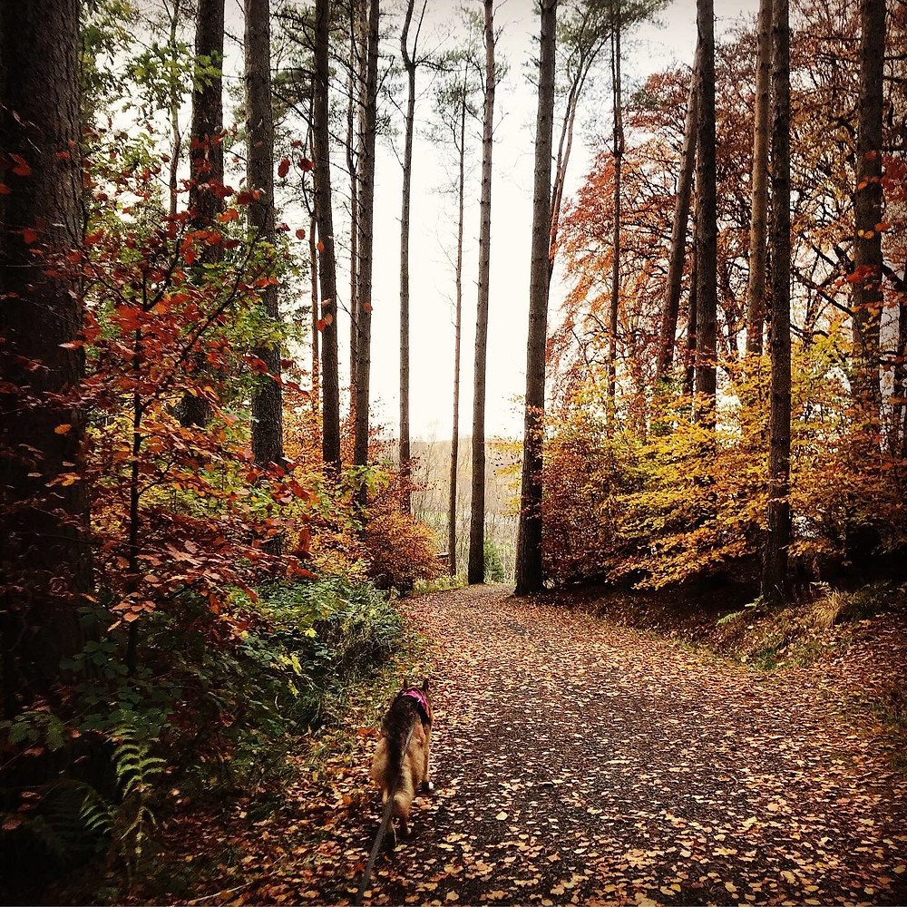 An autumnal woodland in Kielder, Northumberland with Kali Rowntree - a German Shepherd dog - walking down a path away from the camera.