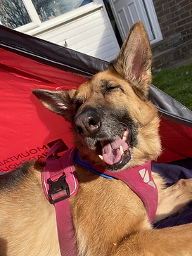 A photograph of Kali Rowntree, a black and tan German Sheperd wearing a pink harness and lying in a red tent in a garden. Kali's eyes are closed and she appears to be smiling at the camera.