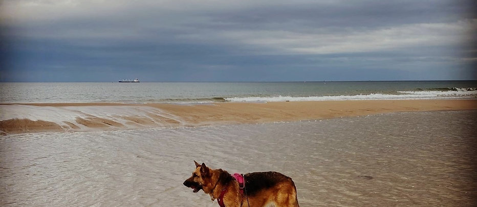 A photograph of Kali Rowntree, a black and tan german shepherd standing in the sea by a sandy beach. Kali wears a pink harness and is looking to the left of the screen.