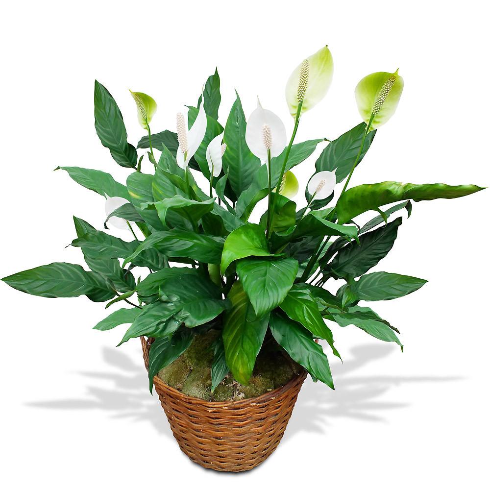 plante-en-pot-haut-100-blanc_12977.jpg